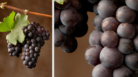 wine article The Saga Of Pinot Noir In Friulivenezia