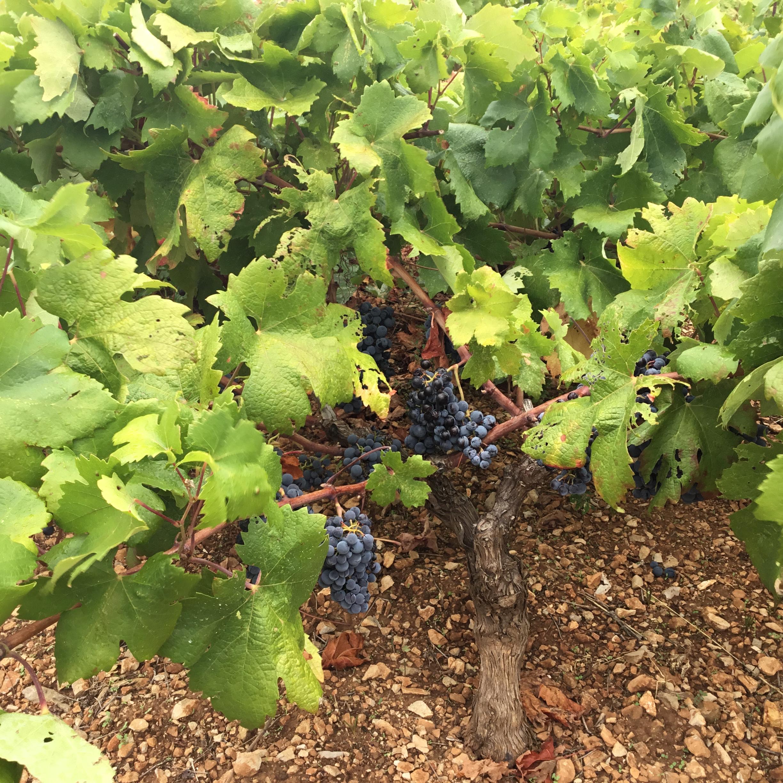 California Wine 2017 Harvest Report
